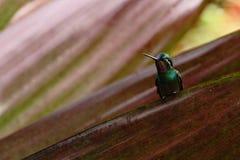 紫色红喉刺莺的Mountaingem坐事假,哥斯达黎加 库存照片