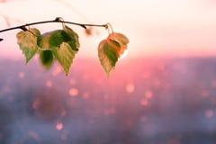 紫色红色绯红色日落在窗口里 以桦树分支为背景 在叶子掩藏的太阳 强光背景 库存照片