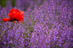 紫色红色 库存照片