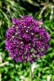 紫色绽放在一个晴朗的庭院里 免版税库存照片
