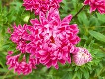 紫色翠菊 免版税库存图片