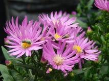 紫色翠菊 库存图片
