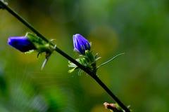 紫色翠菊 免版税库存照片
