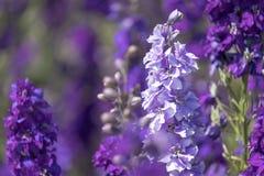 紫色翠雀特写镜头在领域开花在灯芯, Pershore,渥斯特夏,英国 瓣用于做婚礼五彩纸屑 库存照片