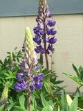 紫色翠雀 免版税库存照片