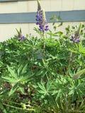 紫色翠雀 库存照片