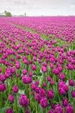 紫色色的郁金香在一阴天 库存图片