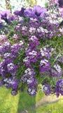 紫色花一个美丽的篮子  免版税图库摄影
