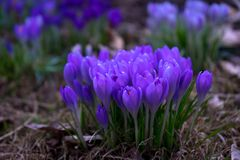 紫色花从groud开花在s初 库存图片