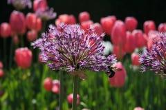 紫色花关闭与桃红色郁金香在庭院里 图库摄影