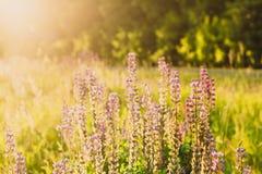 紫色花凶猛植物在一个晴朗的夏天点燃 库存图片