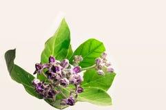 紫色花和叶子在被隔绝的白色背景 免版税图库摄影