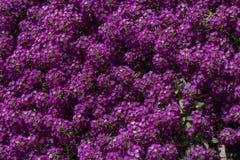 紫色花和叶子 库存图片