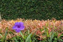 紫色花和庭院背景 免版税库存照片
