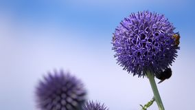 紫色花和昆虫蜂 股票录像