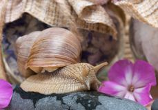 紫色花围拢的蜗牛沿石头爬行 免版税库存图片