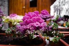 紫色花在一个花盆增长在公园 免版税库存图片