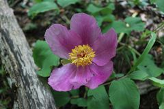 紫色花在庭院里 免版税图库摄影