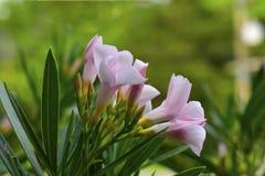 紫色花在房子神色自然美人刷新前面的庭院里 免版税库存图片