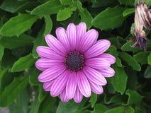 紫色花在深庭院里 免版税库存照片