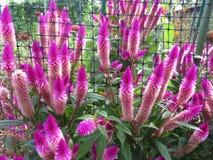 紫色花在秋天庭院里 免版税库存照片