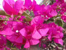 紫色花在越南 免版税库存照片