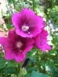 紫色花在tge庭院里 免版税图库摄影