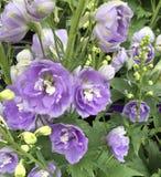 紫色花开花 库存图片