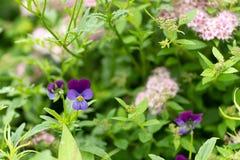 紫色花照片反对叶子背景的 免版税库存图片