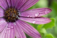 紫色花特写镜头与雨珠的 库存图片