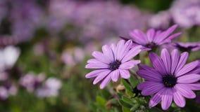 紫色花田在夏天 股票视频