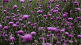 紫色花田在夏天 股票录像