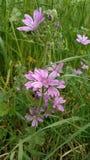 紫色花绽放在春天 库存图片