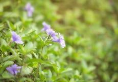 紫色花绽放 免版税库存照片