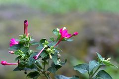紫色花,瘦长,象紫晶,与在他们旁边的芽 库存照片