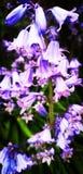 紫色花 免版税图库摄影