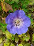 紫色花04 库存图片