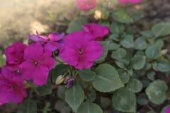 紫色花Impatiens,凤仙花科在花床上 免版税库存照片