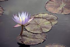 紫色荷花 库存照片