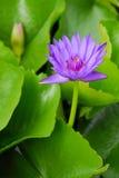 紫色荷花 免版税图库摄影
