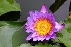 紫色莲花和绿色莲花叶子在水中 库存照片