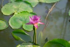 紫色莲花在池塘 库存图片