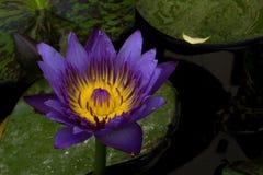 紫色莲花开花或荷花开花开花在池塘 库存图片