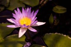 紫色莲花的关闭是开花和卓著的与莲花叶子在池塘,水平的顶视图 库存图片