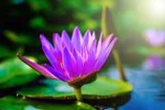 紫色莲花 免版税图库摄影