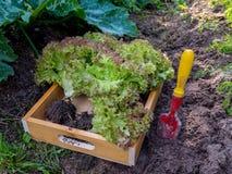 紫色莴苣沙拉在木箱朝向 免版税图库摄影
