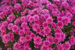 紫色菊花 免版税库存图片