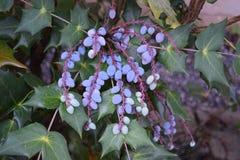 紫色葡萄喜欢束 库存图片
