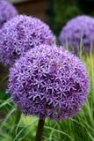 紫色葱属的电灯泡 免版税库存图片