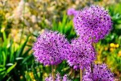 紫色葱属giganteum 库存图片